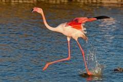 DSC_6340_DxO_pn2bis - flamant rose (Berzou) Tags: flamantrose oiseau bird nature naturebynikon nikond7000 tamron150600