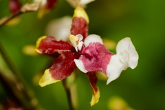 Orchid - Oncidium hybridum (Cathy's Photography) Tags: flower flowers orchid orchids red yellow yellowred yellowwhite canon canon6d ef100mmmacro ef100mmmacrolens ef100mm macro closeup closeupflower