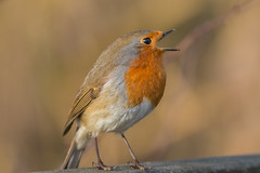 in song (mal265) Tags: robin red breast song ngc bird nature rspb old moor reserve wildlife