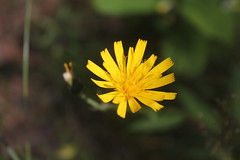 Forest dandelion (Ievinya) Tags: dandelion pienene yellow dzeltens flower puķe blossom zieds nature daba