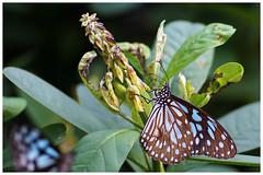 淡紋青斑蝶   Blue Tiger, Tirumala limniace (Alice 2018) Tags: hongkong 2017 winter nature butterfly flower bokeh sonya6000 a6000 sony adaptor manuallens emount contaxgmount gmount contax carlzeiss zeiss 90mmf28 ilce6000 sonnar plant aatvl01 aatvl02