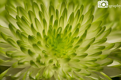 Green Chrysanthemum (Mike House Photography) Tags: chrysanthemum flower chrysanth mum garden plant potted indoor bunch bouquet green white petals beautiful colour macro close up closeup zoom
