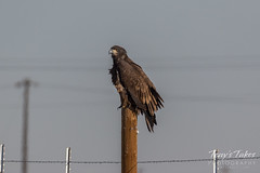 Juvenile Bald Eagle keeping watch on prairie dogs