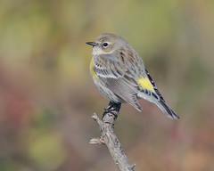 Yellow-Rumped Warbler (evilpigeon777) Tags: