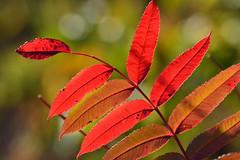 Sumac in Red (NaturalLight) Tags: sumac leaves red chisholmcreekpark wichita kansas