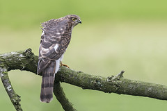 Sparrowhawk (Accipiter nisus) (phil winter) Tags: sparrowhawk accipiternisus juvenile raptor
