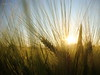 Barley in the evening sun (Tabea-Jane) Tags: gerste abendsonne getreide sommer barley evening sun summer