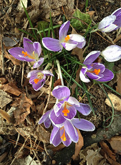 Crocus (Crocus Vernus), in Staten Island, New York, USA. March, 2017 (Tom Turner - NYC) Tags: nature tomturner purple flowers crocus crocusvernus statenisland newyork bigapple unitedstates usa nyc krokus plant