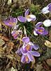 Crocus (Crocus Vernus), in Staten Island, New York, USA. March, 2017 (Tom Turner - NYC) Tags: nature tomturner purple flowers crocus crocusvernus statenisland newyork bigapple unitedstates usa nyc krokus plant