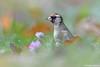Stieglitz (Carduelis carduelis) (waellerwildlife) Tags: stieglitz cardueliscarduelis distelfink europeangoldfinch goldfinch stillits chardonneretélégant jilgueroeuropeo cardelina putter distelvink steglits pintassilgo щиглик szczygieł ゴシキヒワ avifauna birding birds bird westerwald wällerwildlife westerwälderseenplatte wildlife wolfgangburens wölferlingerweiher waellerwildlife wied wald burens biotope brinkenweiher biotop rhinelandpalatinate germany hachenburg dreifelden dreifelderweiher haidenweiher hausweiher ornithologie obererwesterwald steinebach steinebachanderwied herschbach selters altenkirchen badmarienberg montabaur westerburg naturfotografie natur nature naturwald brutvogel brutvögel wiesenklee trifoliumpratense rotklee klee redclover trébolrojo trèfledesprés rodeklaver hasel corylusavellana commonhazel haze pähkinäpensas noisetier coudrier avellanocomún nocciòlo herbst autumn