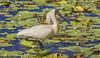 very attractive! - the royal plumage (Fat Burns ☮ (on/off)) Tags: bird australianbird fauna australianfauna royalspoonbill platalearegia royalspoonbillbreedingcolours birdbreedingcolours waterbird nikond750 sigma150600mmf563dgoshsmsports sigmatc140114xteleconverternik buckleyshole bribieisland queensland australia