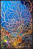 Alberto Carrera (AC ALBERTO CARRERA) Tags: albertocarrera nature natural wild wildlife biology biologist wildland conservation environment habitat zoology naturalhistory biodiversity bio diversity free ecology ecosystem color colour coral coralreef seafan seawhips gorgonian gorgonacea alcyonacea cnidaria anthozoa octocorallia sessile colonial colony skeleon polyp tentacle nematocysts invertebrate dive underwater aquatic submarine sealife animal animalia fauna water marine view ocean sea fish reef deep subacuatic acuatic playagirón cuba america spain