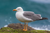 Yellow-legged Gull (Larus michahellis)-9893 (Stein Arne Jensen) Tags: canonef100400f4556lisusm canoneos70d europa europe steinarnejensen европа أوروبا यूरोप ヨーロッパ 歐洲 유럽 laspalmas grancanaria spain