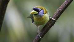 Torito Cabecirrojo, Red-headed Barbet (Eubucco bourcierii) (andresdelgado88) Tags: