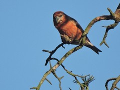 Parrot Crossbill (davidhampton1066) Tags: parrot crossbill parrotcrossbill loxiapytyopsittacus ngc