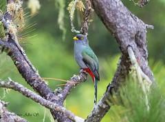 Papagayo /Kalson Wouj/ Hispaniolan Trogon (Priotelus roseigaster) (Francisco Alba Suriel) Tags: priotelusroseigaster birdwatcher