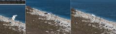 Snowy Owl ( Bubo scandiacus ) Landing Sequence (MacDonald_Photo) Tags: jamieamacdonald sl33stak zd lightroom oly olympus zuiko eatonrapids michigan getolympus omd omdem1mkii μ43photography μ43 em1mkii omdem1markii 40150mmf28 40150mm mzuiko40150mmf28pro buboscandiacus snowyowl muskegon muskegonmichigan raptor puremichigan