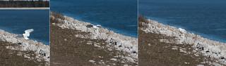 Snowy Owl ( Bubo scandiacus ) Landing Sequence