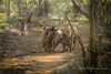 Greeting ceremony (halfpennysanchez) Tags: wildlife hyenna greeting ceremony den animals