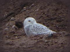 Snowy Owl--Explored (yooperann) Tags: birds winter visitors marquette upper peninsula michigan