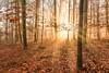 Sonnendurchflutet (SonjaS.) Tags: wald sonnenuntergang sonnenstrahlen sonnendurchflutet blende16 canon6d büume baum tree gegenlicht