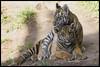 Tiger Cubs (KRIV Photos) Tags: bengaltiger dc sandiego sandiegozoosafaripark sumatrantiger tj tiger animal