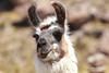 Lama (jmboyer) Tags: bo0820 bolivie bolivia travel ameriquedusud canon voyage ©jmboyer nationalgeographie potosi yahoophoto géo yahoo photoyahoo flickr photos southamerica sudamerica photosbolivie boliviafotos canonfrance eos lapaz nationalgeographic lama canon6d bolivien bolivienne tribal googlephotos