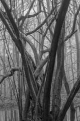 Entangled Trees (paulbunt60) Tags: zwartwit trees netherlands blackwhite landscape landschap 2017 marknesse nederland water waterloopbos