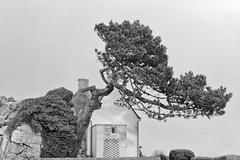 piegato dalle forza del vento, Breizh (Simo-Nella) Tags: vento bw costa forza albero piegato cespuglio