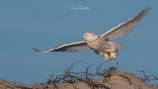 Snowy Owls of New Jersey | 2017 - 11