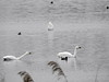 Tundra Swan (Corine Bliek) Tags: vogel vogels zwanen swans lake trekvogels migrant wildlife nature natuur water cygnuscolumbianusbewickii bird birds