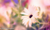 Winter .... (frederic.gombert) Tags: gerbera flower daisy color yellow plant garden light macro sony colors pink