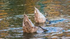 Dunked (Coisroux) Tags: dunked swimming cygnets birdlife animals splash river pond d5500 nikond duplicate movement behaviour comical