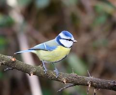 Blue Tit - Taken at Titchmarsh Nature Reserve, Aldwincle, Northants. UK (Ian J Hicks) Tags:
