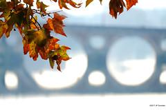 Pont neuf, Toulouse (jpto_55) Tags: platane automne pont pontneuf toulouse hautegaronne france xe1 fuji fujifilm fujixf55200mmf3548rlmois bokeh