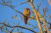Northern Flicker (Neal D) Tags: bc surrey crescentbeach bird flicker northernflicker colaptesauratus blackiespit redshafted