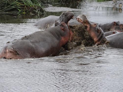 Flusspferd-Männer stressen