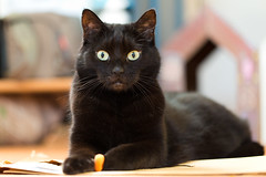 Lilli (rengawfalo) Tags: katze cat haustier pet black eyes cc100