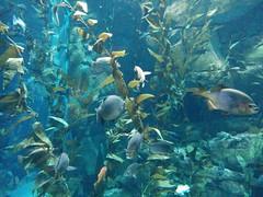 Pacific kelp forest (3) #toronto #ripleysaquarium #aquarium #fish #kelp #pacifickelp #latergram (randyfmcdonald) Tags: fish ripleysaquarium kelp latergram pacifickelp aquarium toronto