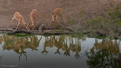 Impala (Aepyceros melampus) (Hernan Linetzky Mc-Manus) Tags: savannah savana southafrica africa sudafrica animal safari natgeo ng wild camp manyeleti limpopo honeyguide linetzky big5 nikon nature mammal animals wildlifephotography pilanesberg nikonphotography photos wildanimals africannature naturaleza salvaje waterbuck kobus ellipsiprymnus kudu tragelaphus impala aepyceros gacela springbok nyala steenbok