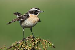 Whinchat Saxicola rubetra (janmangorfagerland) Tags: animal birds bird birdphoto bokeh birdsgallery birding birdsofnorway birdswildlifenaturenikon300mmvrii2 colours coast colorful d800e dephtoffield distinguishedbirds dof d600 300mmvrii28g exposure evening fagerland field fugler flickr fuglebilder fauna gallery green grass islands nikon wildlife nikkor juniper june jan janfagerland mjåvatn buskskvett karmøy landscape light mangor myr marsh nature norway norge natur nikon300mmvrii28g outdoor ornithology orange photography photo planet plant red rubetra sun songbird saxicola heathland vr wetland water vann white wildbirds b