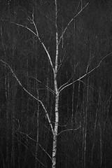 Silverbirch (Greg Hitchcock) Tags: england kent kentwildlifetrust november swr sevenoaks sevenoakswildlifereserve trees uk winter woodland autumn forest leaves