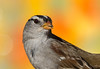 White-crowned Sparrow (gilamonster8) Tags: quality arizona american wing white smoke sparrow sky explore explored eyes eos eat ef400mm56l eyeball eating desert color canon common red flight flickrelite fly view tucson tail green great garden seed bird bokeh beyondbokeh blue bill beak black brown yellow ngc usa male leaves orange plant pollen 7dmarkii feather detail