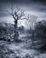 Old Oak (Mobile Phone Camera). (aveyardphotography) Tags: lg lgg6 cellphone mobile phone old oak mono blue winter snow ice