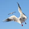 Balance (Mr.Pixel) Tags: seagull gull flyingseagull bird