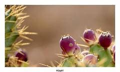 Figuier de Barbarie (Fuerteventura) (gilbert.calatayud) Tags: figuier de barbarie opuntia fucus indica cactées betancuria fuerteventura iles canaries espagne