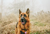 Kublai's Excitement (Viv Lynch) Tags: canada ontario toronto scarborough bluffs fog weather mist scarboroughbluffs forest woods nature walking waterfronttrail eastend autumn fall winter cliffside meadow coldweather mood dog dogs germanshepherd alsatian pet dogwalking