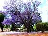 Jacaranda's (AdamsWife) Tags: jacaranda purple flowers tree westernaustralia perth