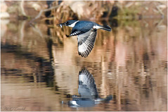 Kingfisher in Flight (soupie1441) Tags: london ontario canada belted kingfisher nikon d7200 200500mm nikkor nature wildlife flight