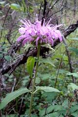 Plants_OB_502 (NRCS Montana) Tags: monarda fistulosa wild bergamot plants